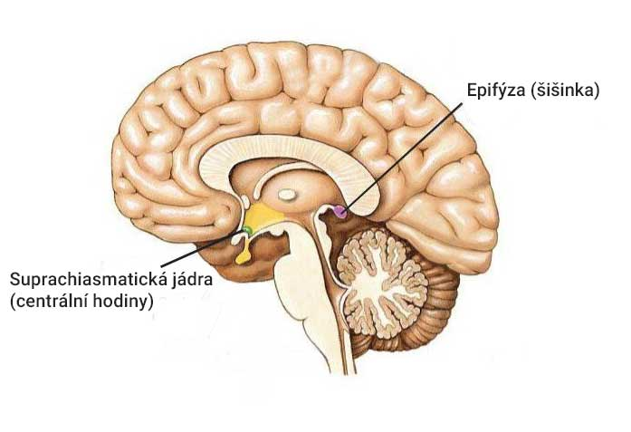 melatonin – epifýza obrázek